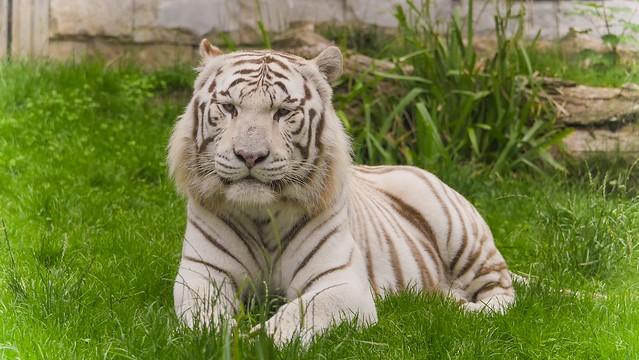 Siberian white Tiger - 2