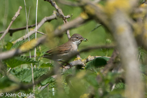 Sylvia communis ♂ - Whitethroat | by bollejeanclaude