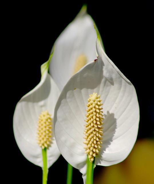 PERPIGNAN GARDEN SPATHYPHYLLUM FLOWER