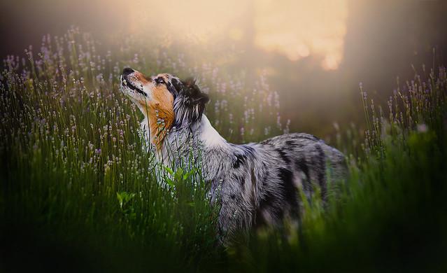 Dogs in Lavender