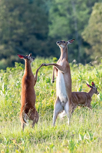 bigmeadows shenandoah action deer doe spring sunrise wildlife syria virginia unitedstates us