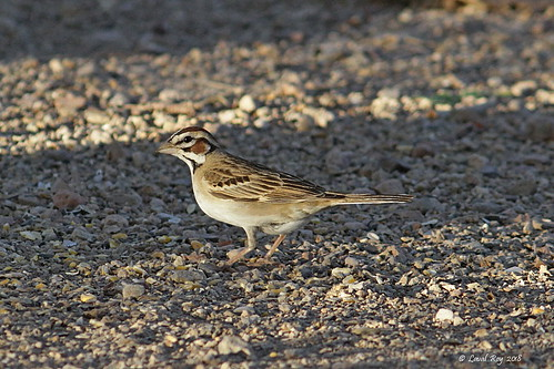 arizona usa bruantàjouesmarron chondestesgrammacusstrigatus larksparrow passerellidés passeriformes oiseaux birds aves lavalroy