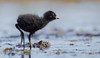Chick / The unseen world of spotted crake by Simonas Minkevičius