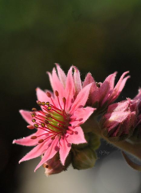 Fleur de joubarbe 1