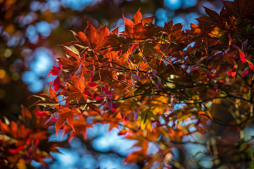 Setting sun shining on Japanese Maple | by John Brighenti