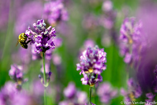 Lavender | by Lucid Dreams Photo
