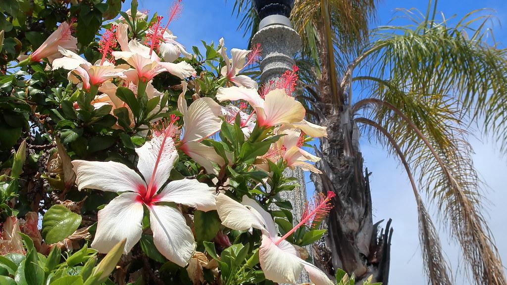 180518 083 La Jolla Ca Prospect St Hibiscus Rosa Sinens Flickr