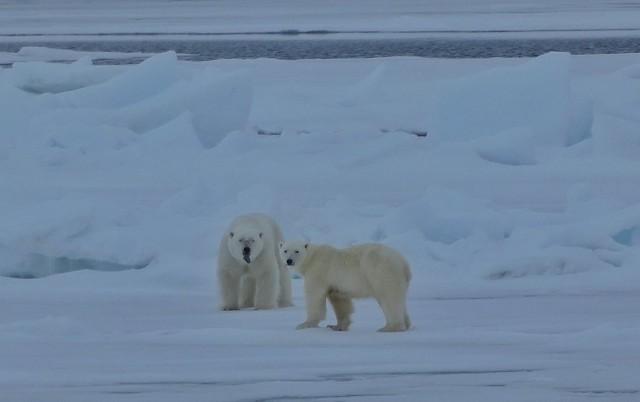 Osos polares, el gran objetivo de un crucero polar en Svalbard