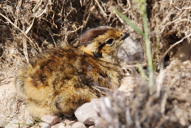 Red Grouse (Lagopus lagopus scotica) - chick