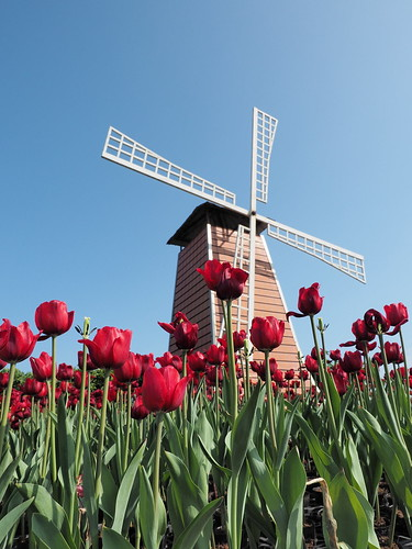 Red tulip flowers and the windmill. | by huislaw