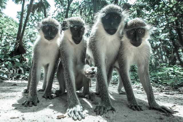 Monkey Photo Shoot, The Gambia