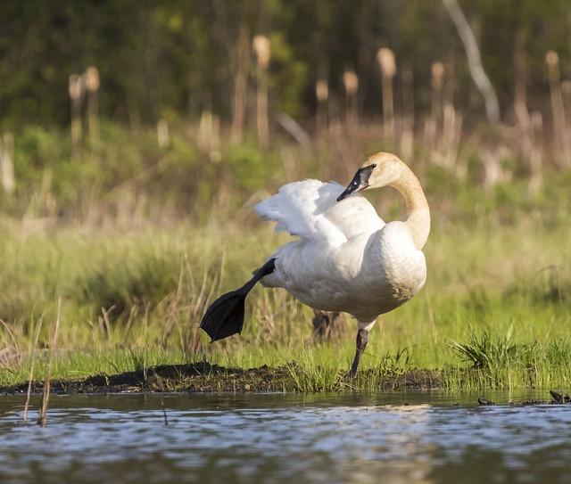 Trumpeter Swan_Stretch