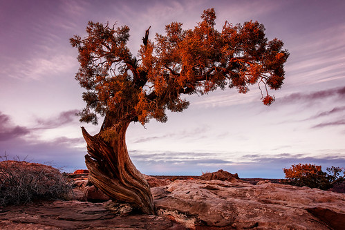 htt tree deadhorsepointstatepark utah sunset