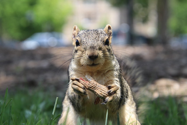 361/365/3648 (June 7, 2018) - Squirrels in Ann Arbor at the University of Michigan (June 6th and 7th, 2018)