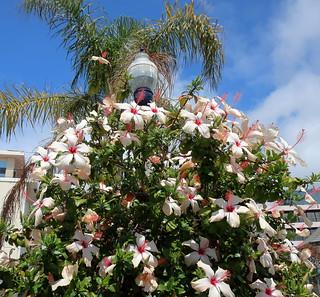 180518 085 La Jolla Ca Prospect St Hibiscus Rosa Sinens Flickr