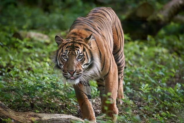 le tigre en balade