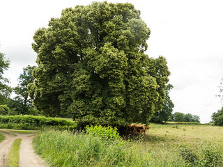 Lime tree in the French country. | by Elise de Korte
