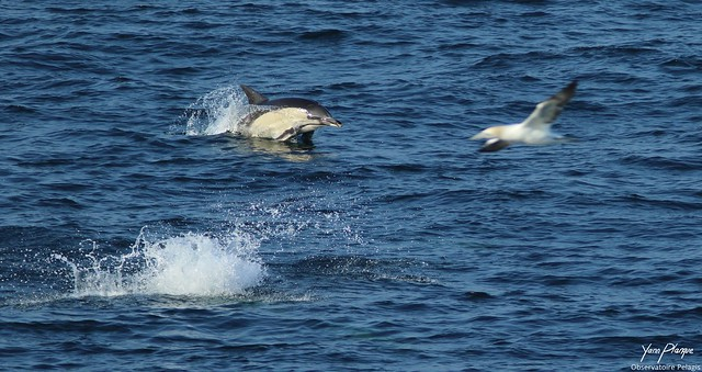 The Dolphin and the Gannet