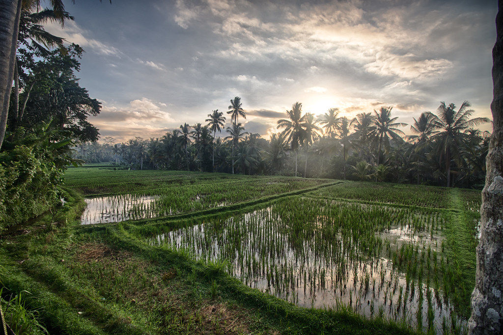Morning in the rice fields of Ubud, Bali.