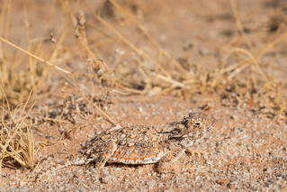 Phrynosoma goodei - Yuma County, AZ | by jeff.martineau