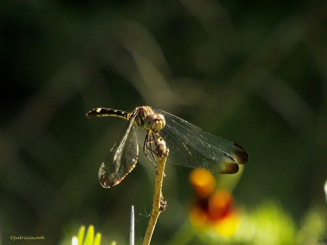 Club Tailed Dragonfly