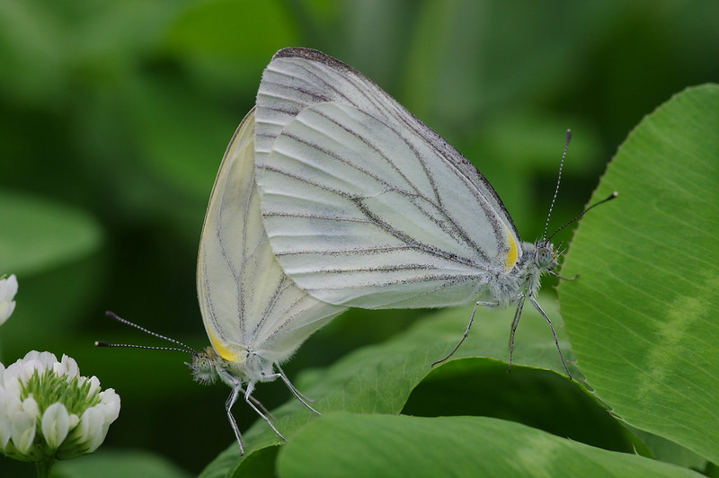 Mating of Pieris melete
