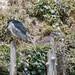 ゴイサギ(Black-crowned night heron)