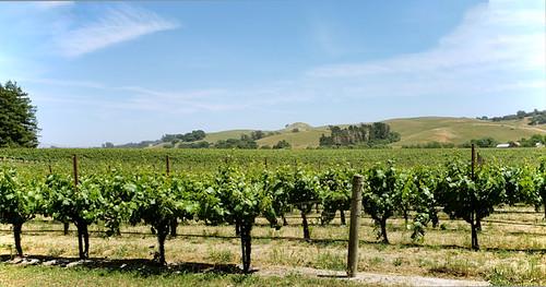sebastopolcalifornia vineyard winegrapes stevenpmoreno nature vines stevenmorenospix2018 outdoor landscape sonomacounty samsung9