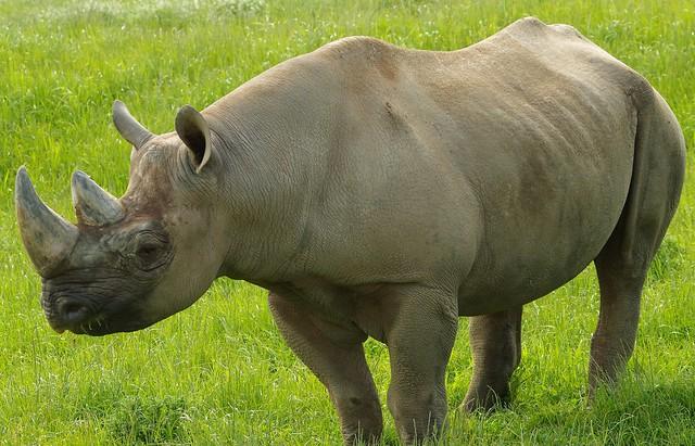 Black Rhino  (19)