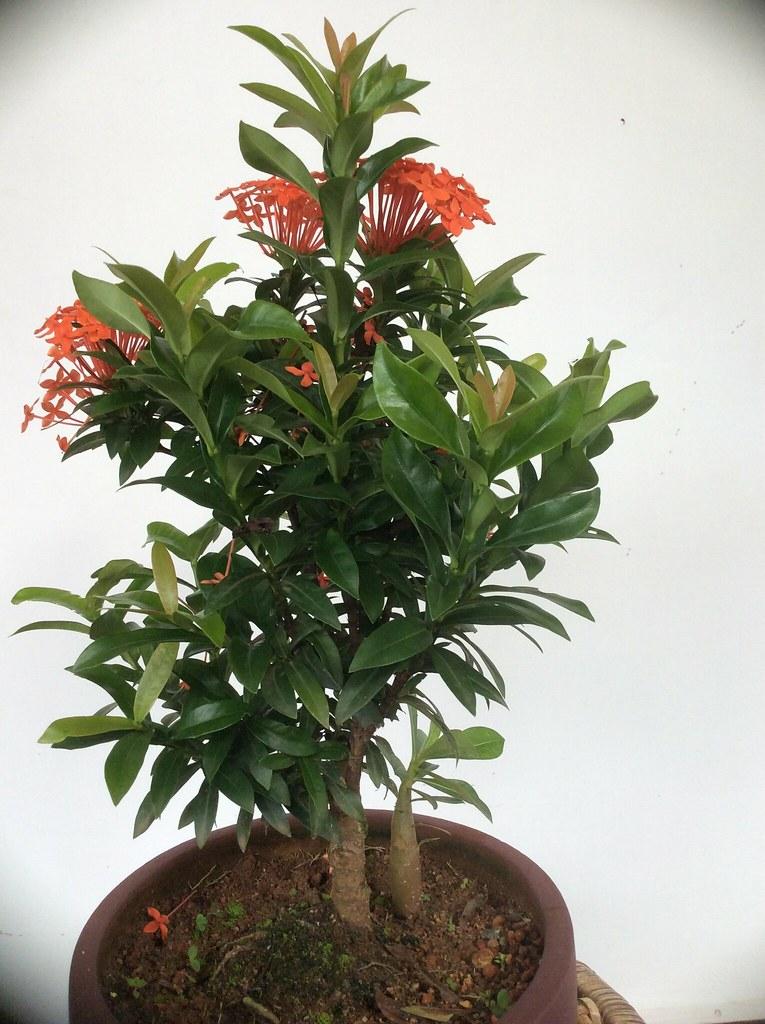 Another Ixora bonsai -