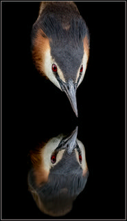 Grebe mirror-2 | by Evelakes67