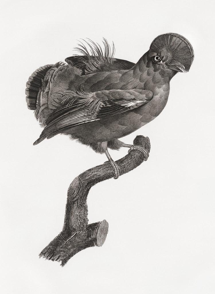 Guianan cock-of-the-rock, male from Histoire Naturelle des Oiseaux de Paradis et Des Rolliers (1806) by Jacques Barraband (1767-1809).