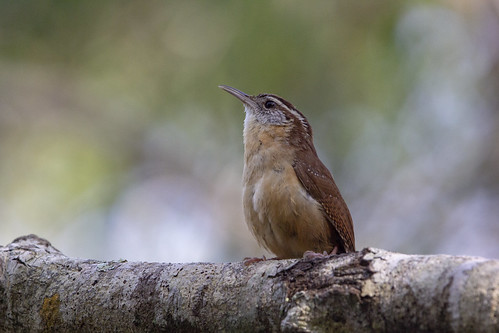 sixmilecypressslough fortmyers florida nature animal wild wildlife carolina wren thryothorusludovicianus