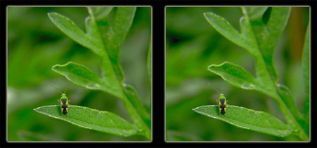 Ornate Plant Bug 1 - Reuteroscopus ornatus - Crosseye 3D