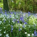 Bluebells & Greater Stitchwort