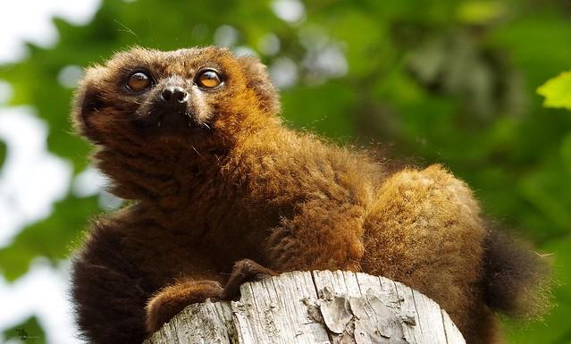 Lemur (6)