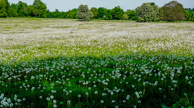 The unlikely sight (given the regular winds) of 'A field full of white dandelion heads