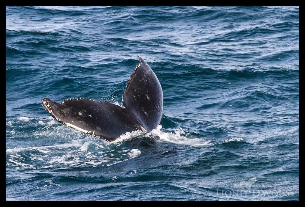 Diving humpback