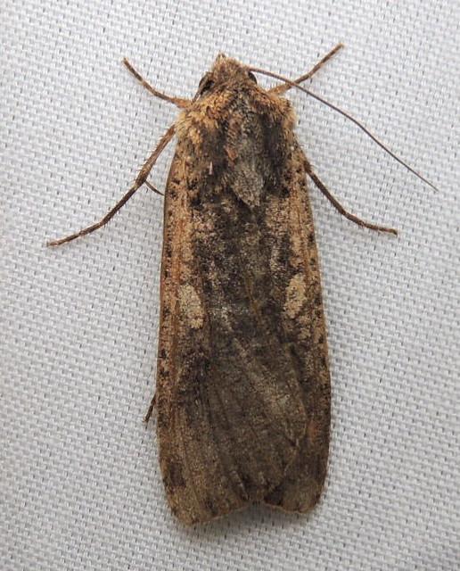 10915 Variegated Cutworm Moth, Peridroma saucia