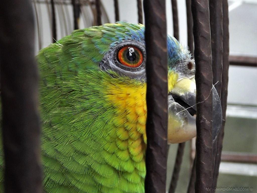 loro guaro (Amazona amazonica)