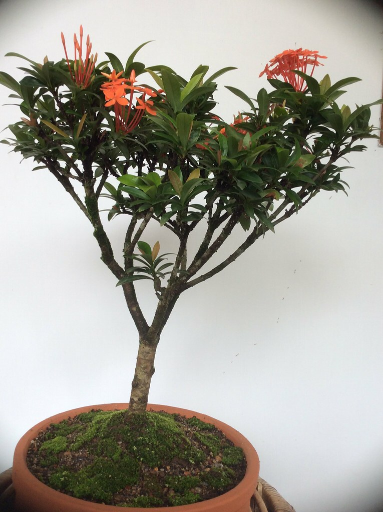 From our Ixora bonsai collection -