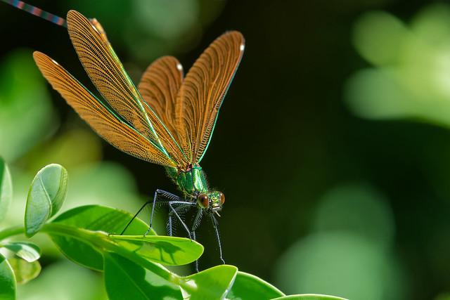 Caloptéryx vierge (femelle) - Calopteryx virgo - Beautiful demoiselle