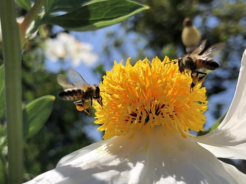157/365: Bee butts | by joehribar