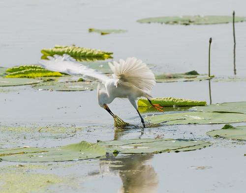 2018 canon eos7d horseshoelake illinois june madisoncounty midwest bird birds egrets herons nature wildlife pontoonbeach unitedstates us