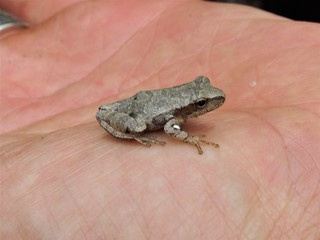 Spring Peeper | by Jetpendragon