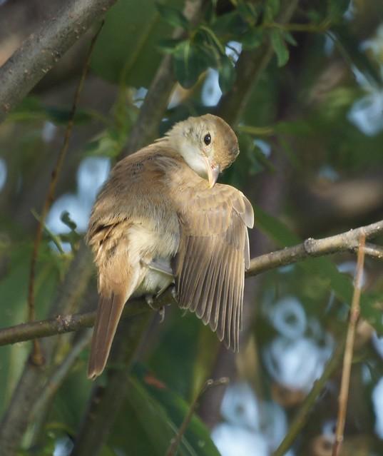 Thick-billed Warbler - Phragmaticola aedon - Толстоклювая камышевка