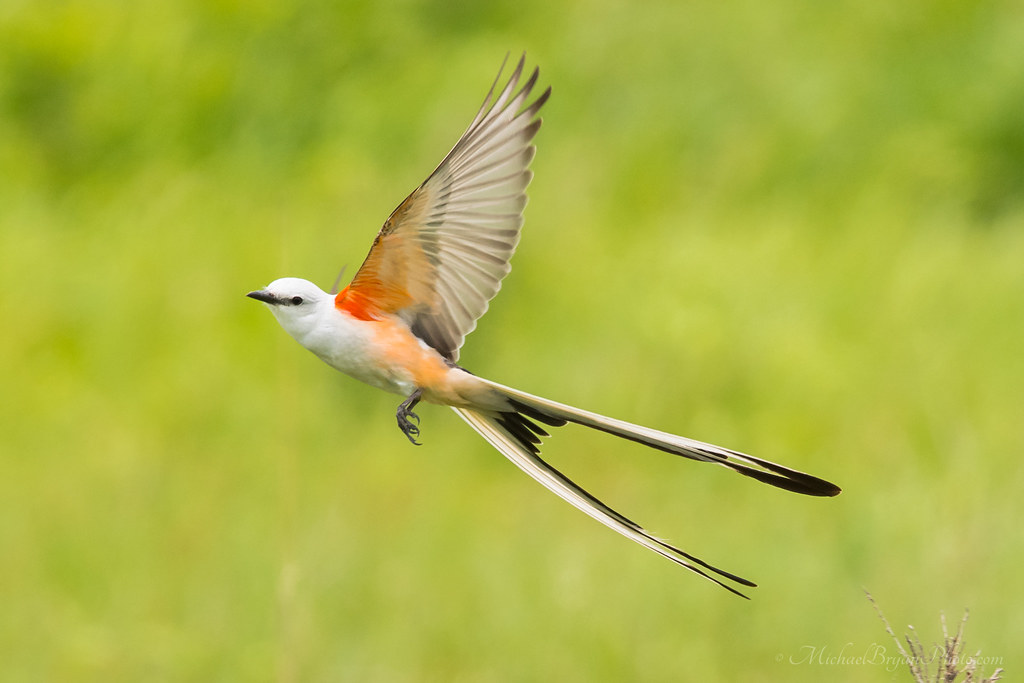 Oklahoma Scissor Tailed Flycatcher The State Bird Of Oklah Flickr