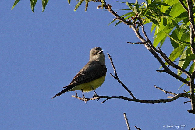 1.14852 Tyran de l'Ouest / Tyrannus verticalis / Western Kingbird