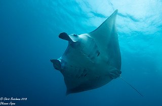 Diving with Manta Rays side ventral view, gentle giants