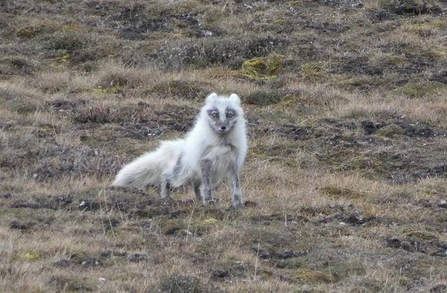 Zorro ártico en Svalbard
